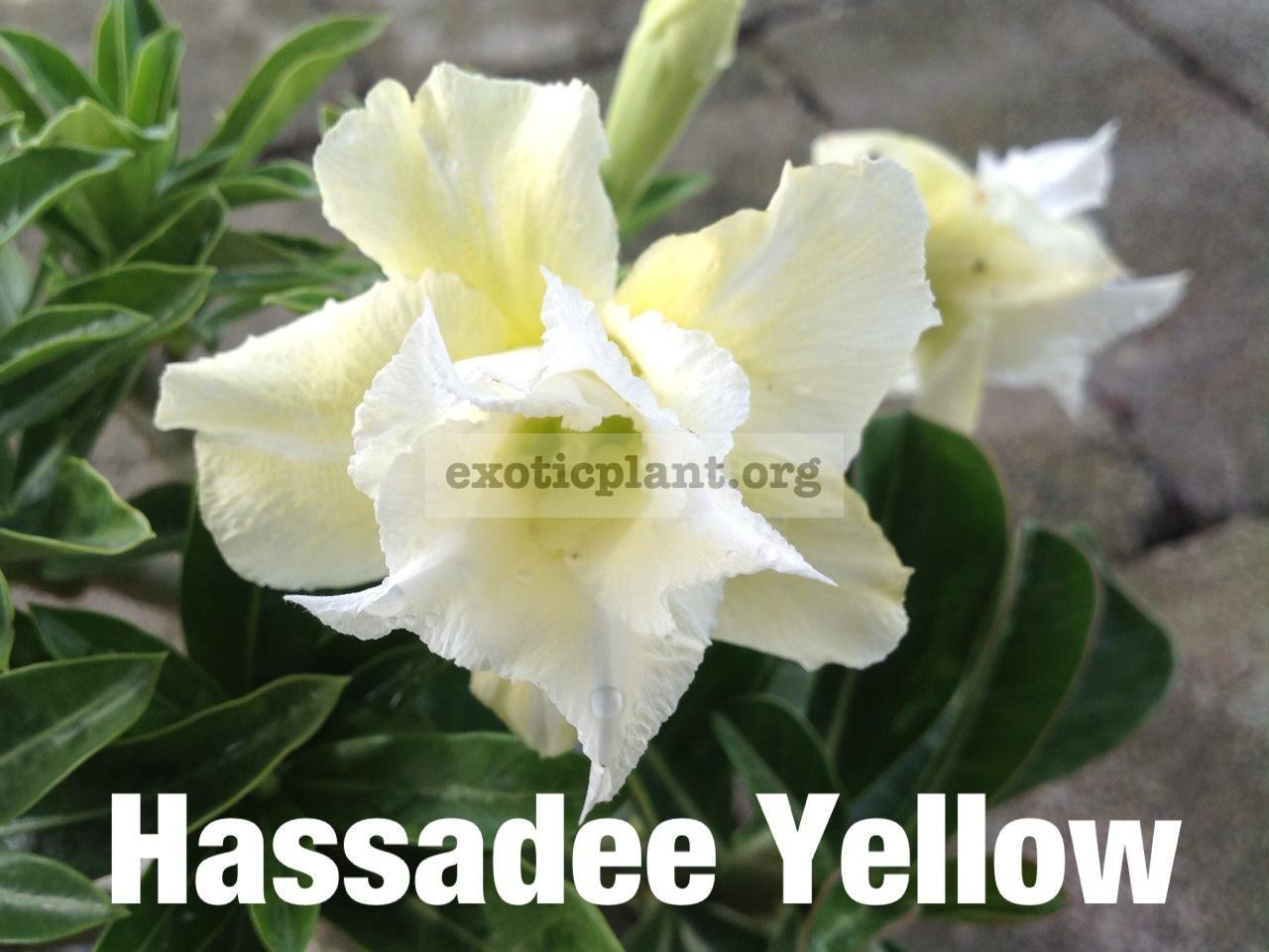 adenium Hassadee Yellow 20