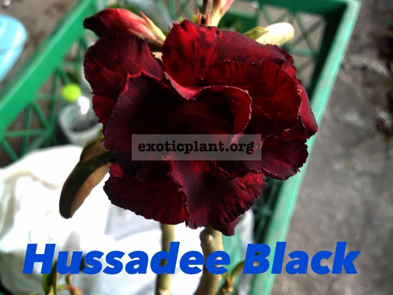adenium Hussadee Black 25