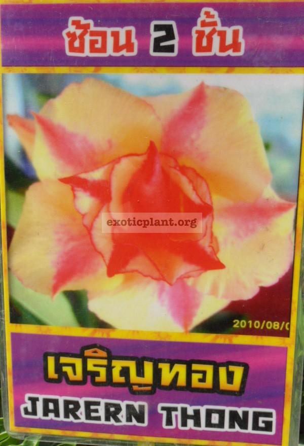 adenium Jarern Thong 26