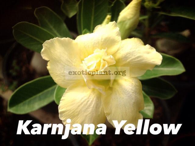 adenium Kan Ja Na Yellow 22 = adenium Karnjana Yellow 22