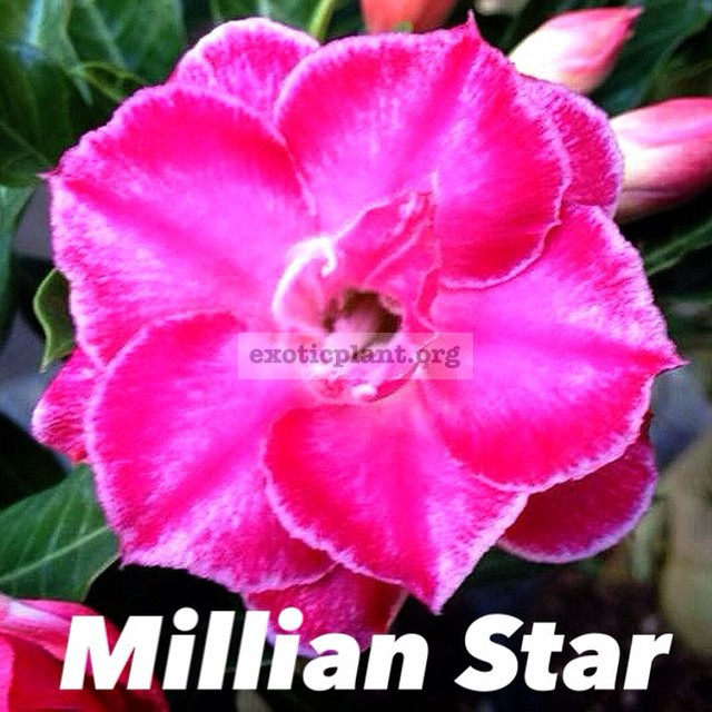 adenium millian star 20