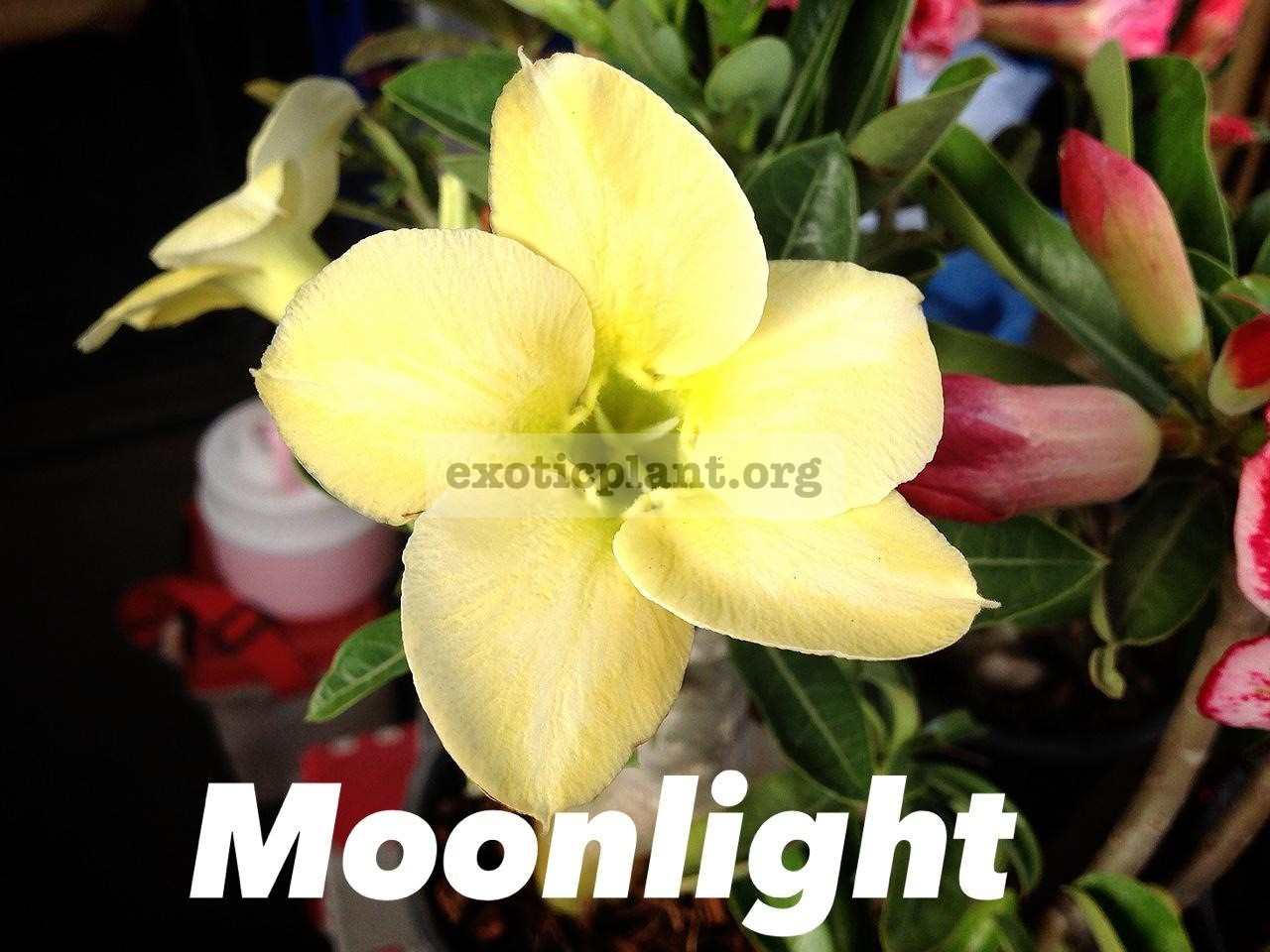 adenium Moonlight 20