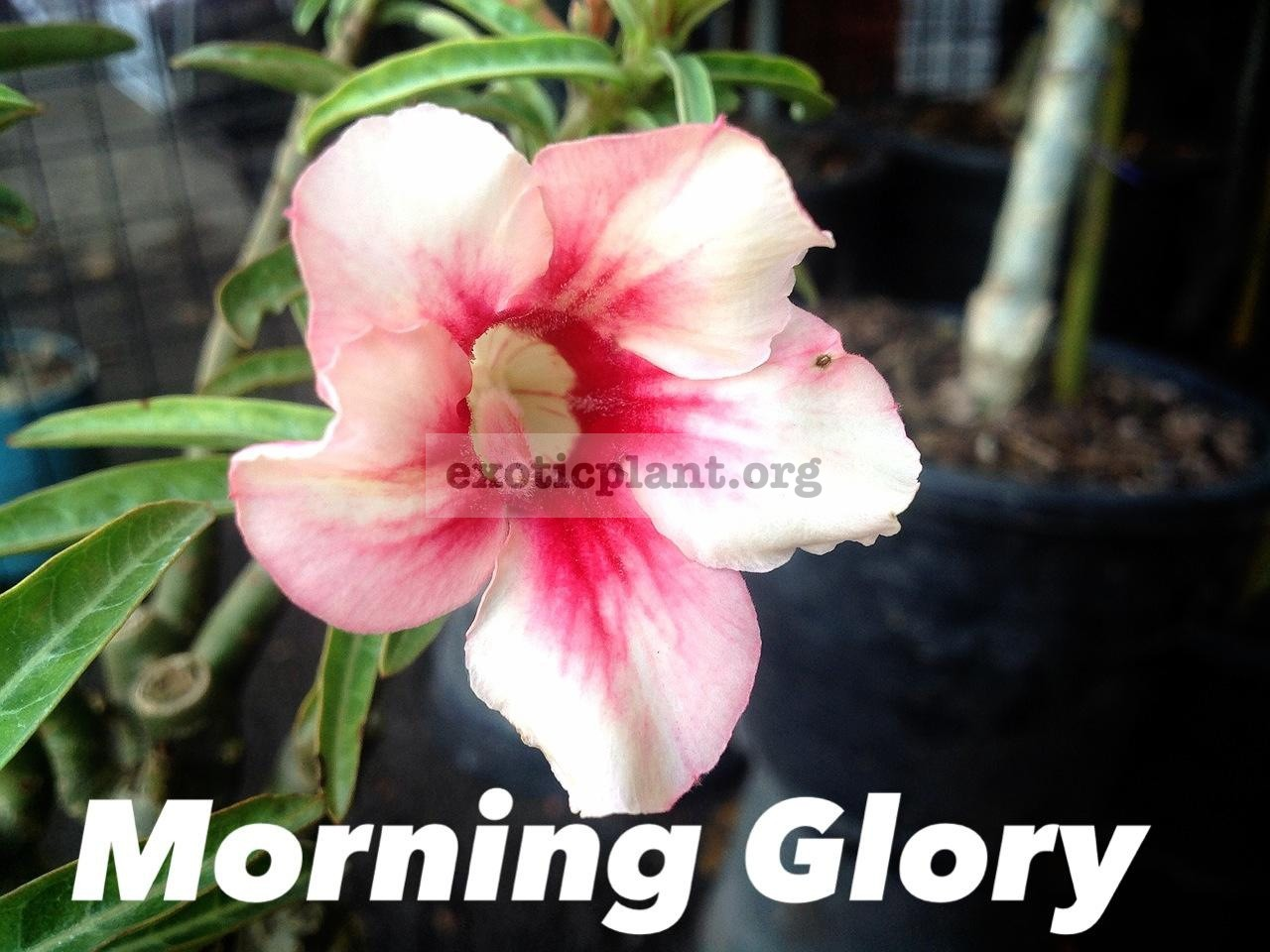 adenium Morning Glory 16