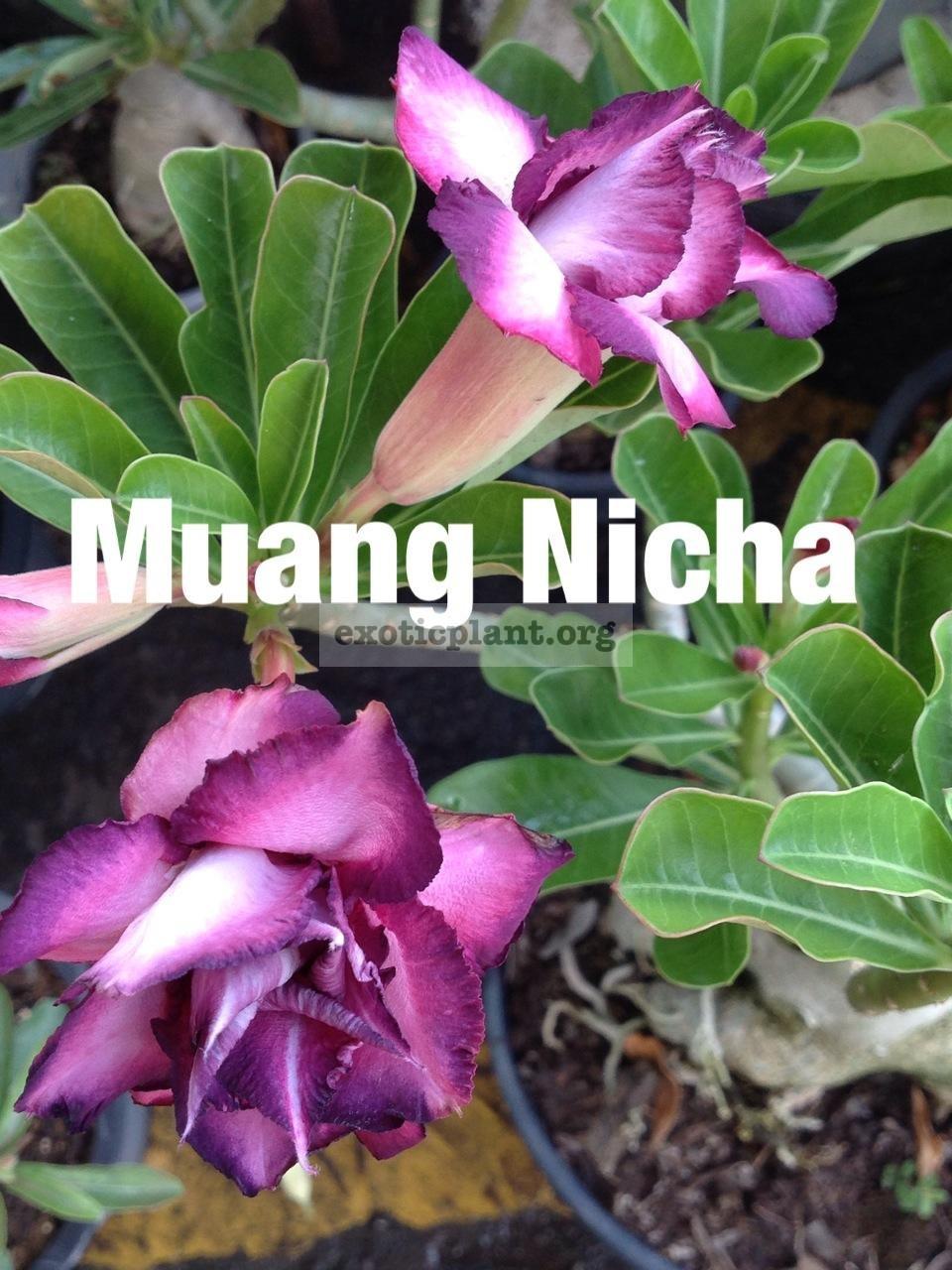 adenium Muang Nicha 22