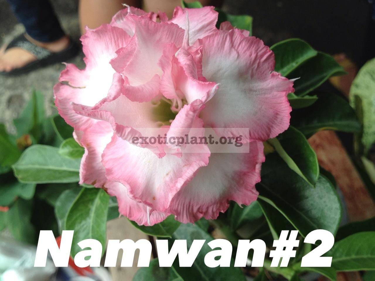 adenium Nam Wan#2 33