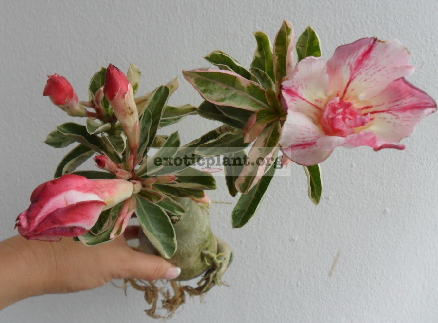 adenium One in Siam 26