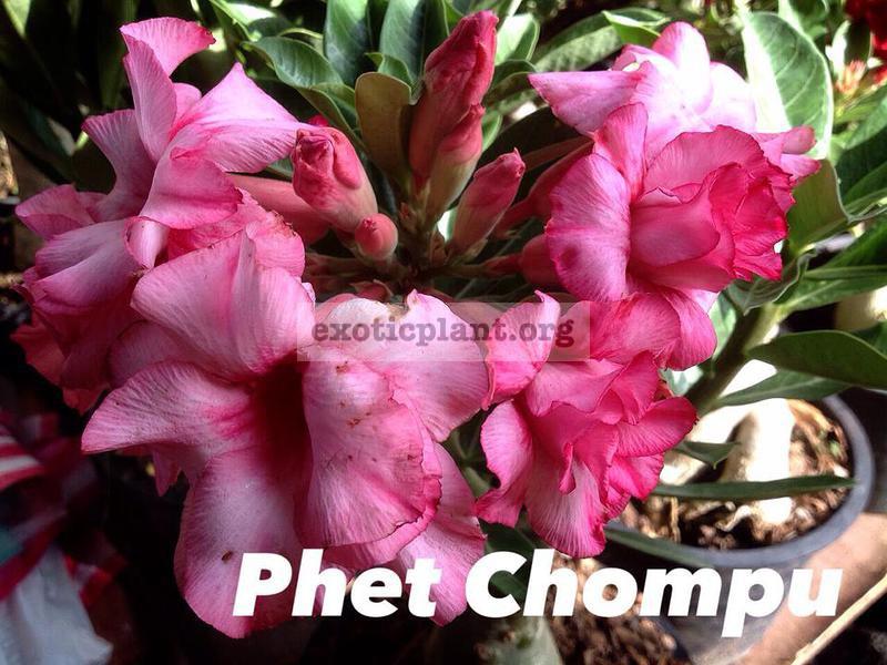 adenium phet chompu 23
