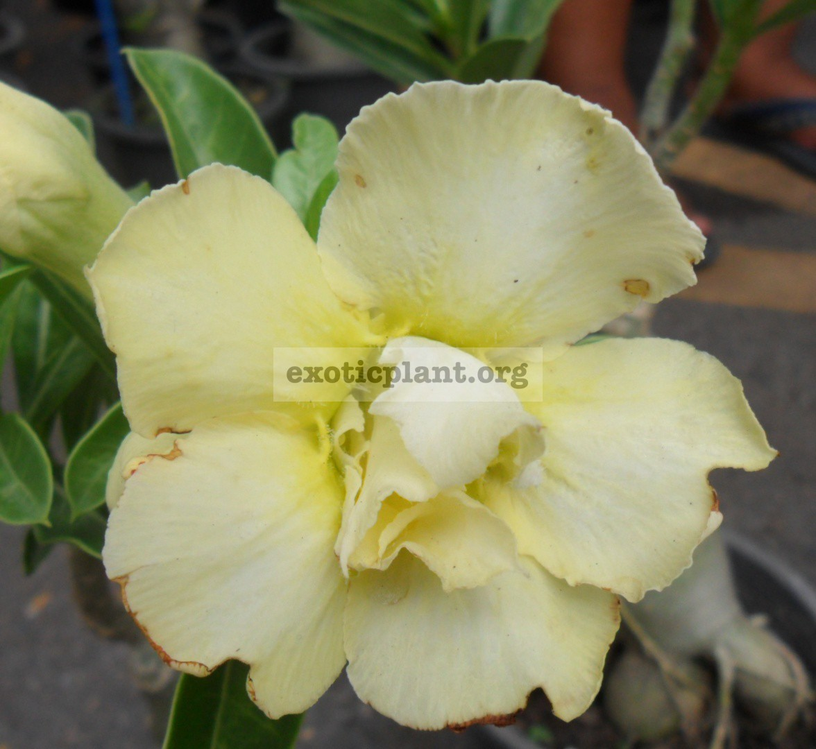 adenium Prem Sup Yellow 20