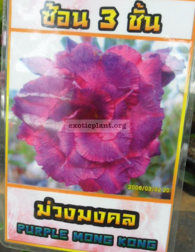 adenium Purple Mong Kong 20