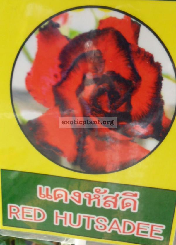 adenium Red Hutsadee 26