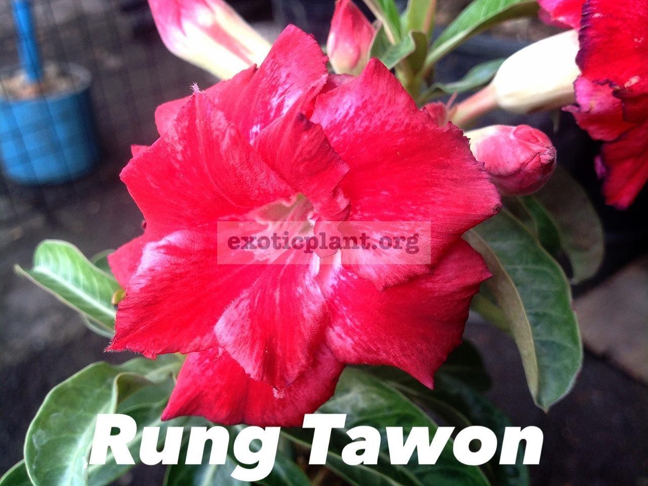 adenium Rung Tawon 20