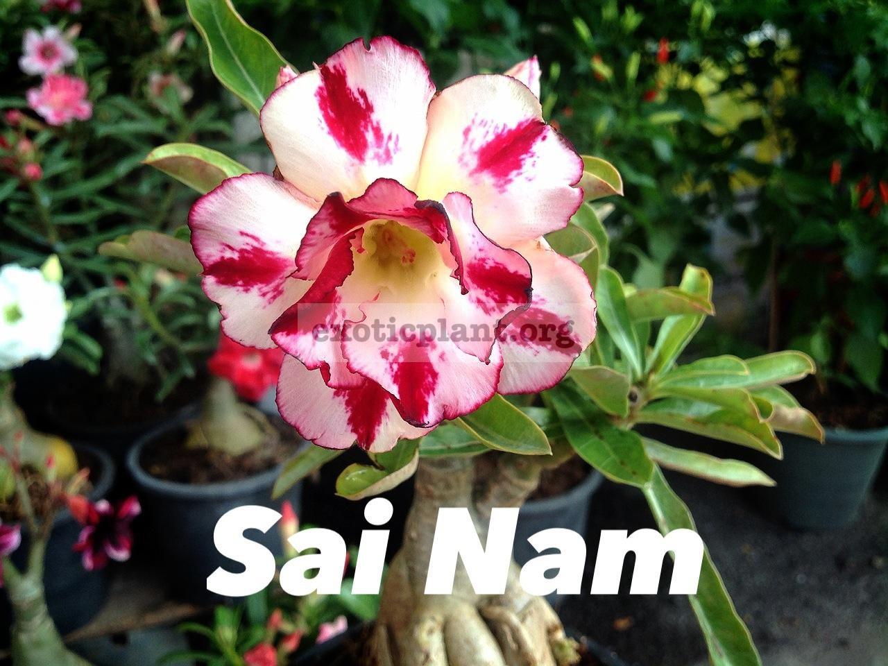 adenium Sai Nam 25