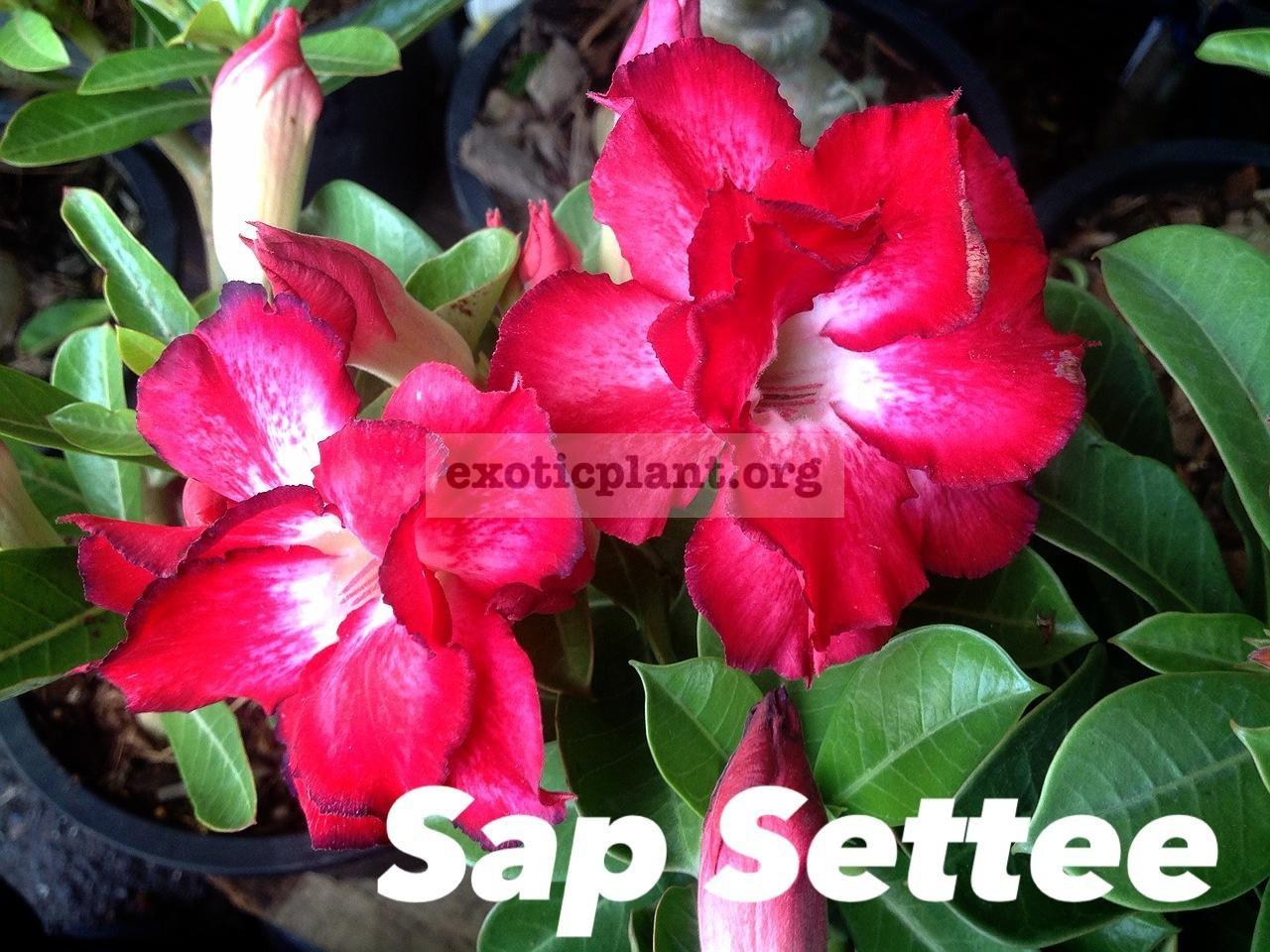 adenium Sap Settee 26