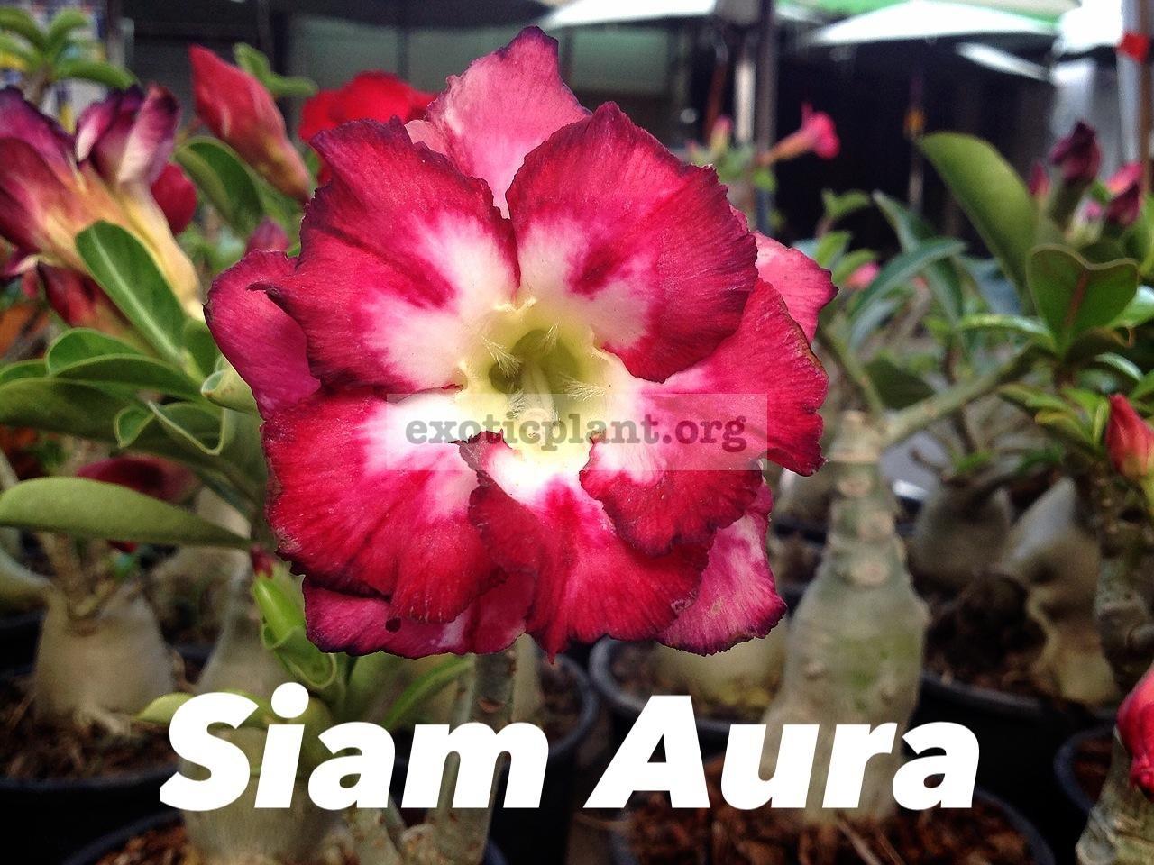 adenium Siam Aura 22
