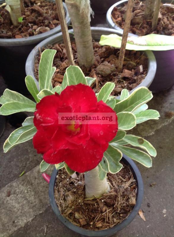 adenium Siam Aurora variegated 30
