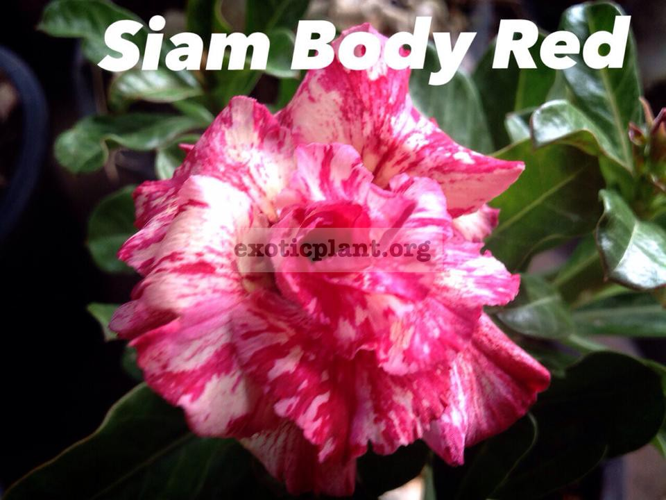 adenium Siam Body Red 33
