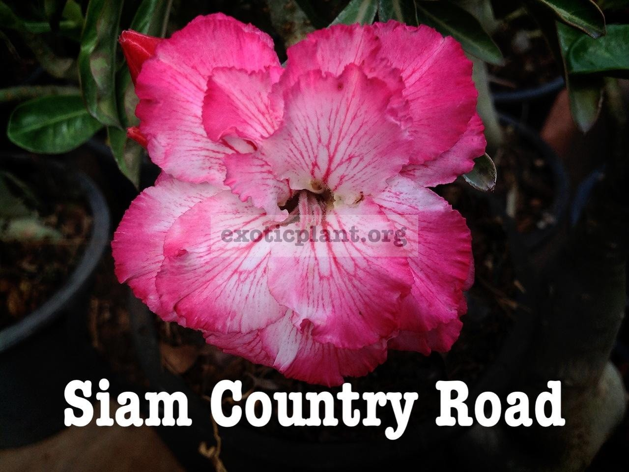 adenium Siam Country Road 30