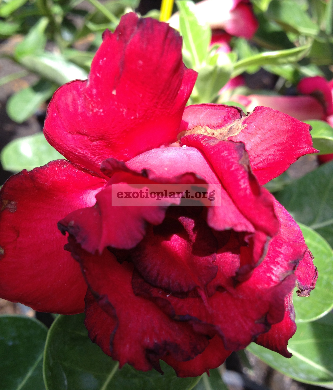 adenium Siam Jai Red 26