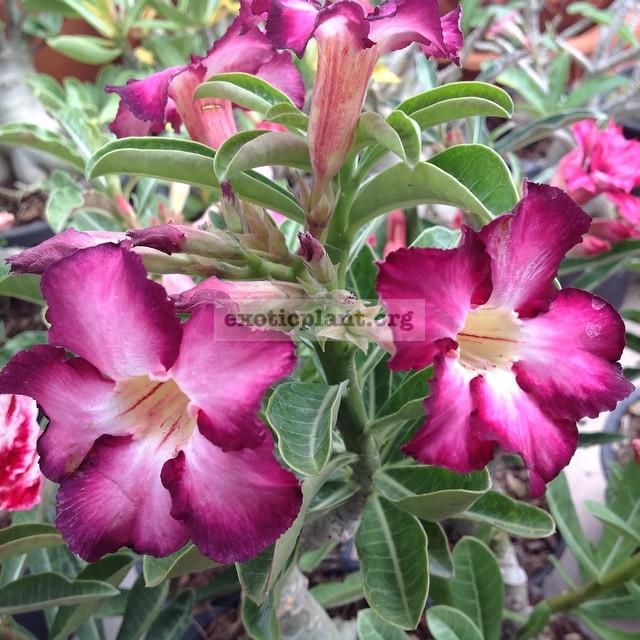 adenium Siam Purple 17