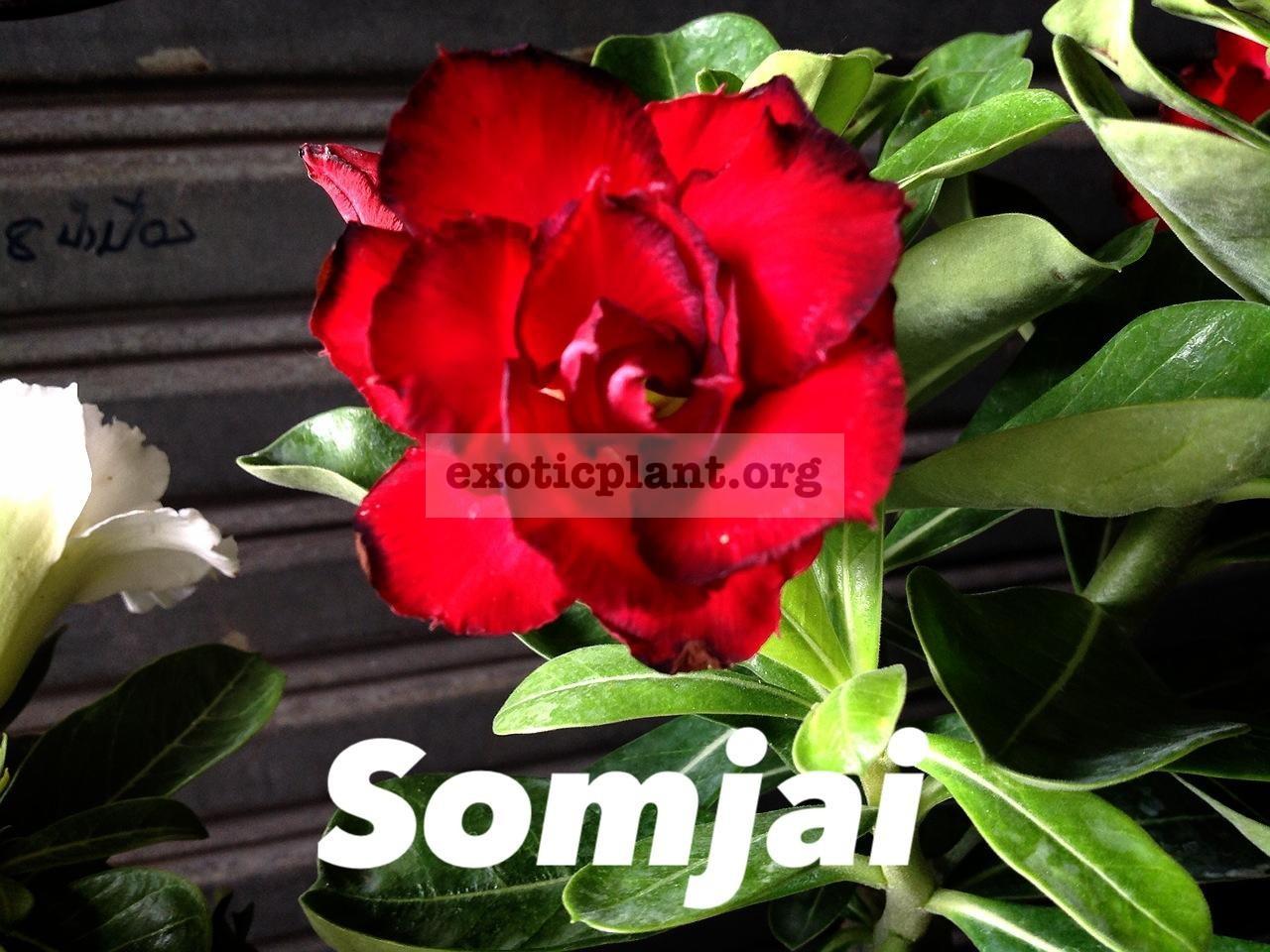 adenium Somjai 22