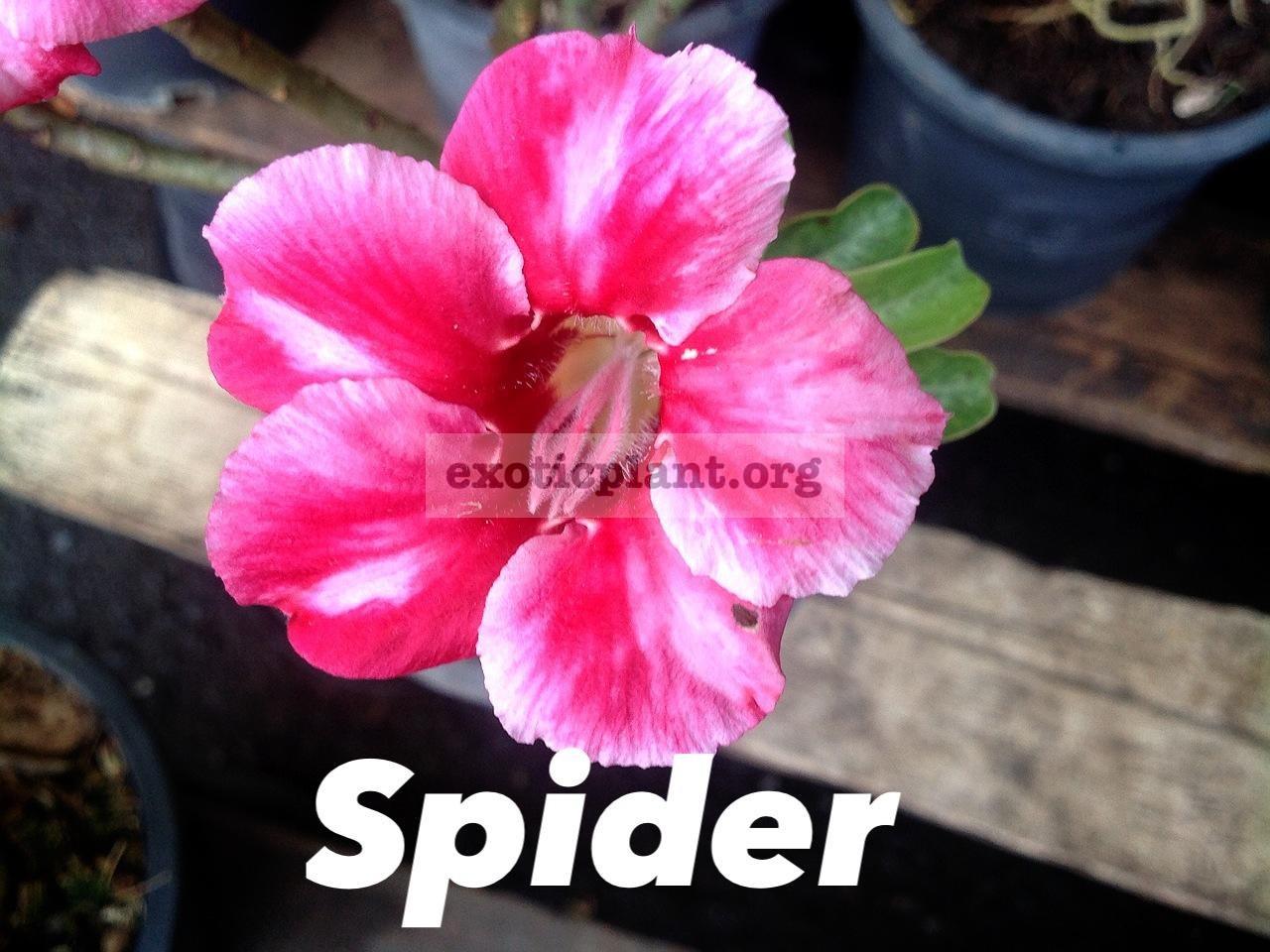 adenium Spider 16