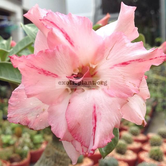 adenium Thai Smile 28