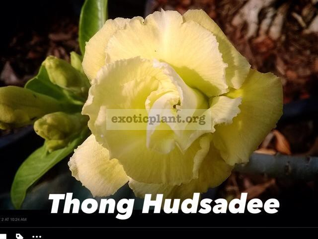 adenium Thong Hudsadee 26