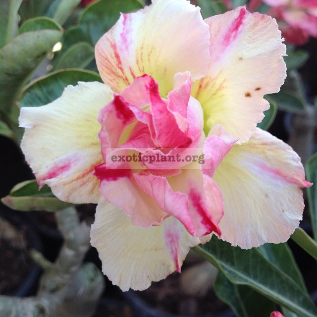 adenium Thong Pan Chang 22