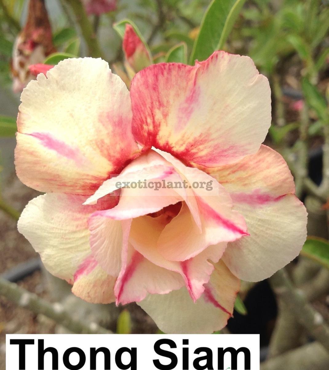 adenium Thong Siam 24