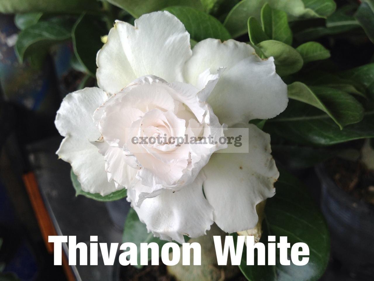 adenium Tivanon White 24