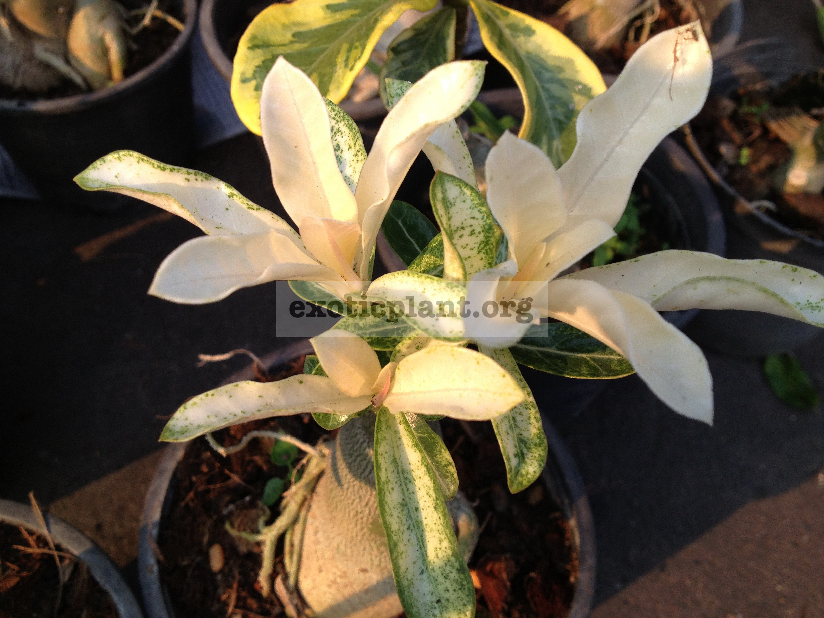 adenium Top White 26
