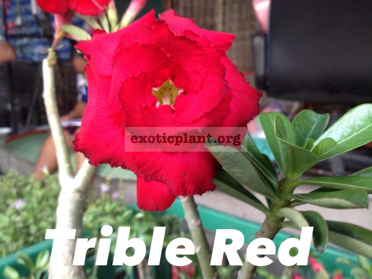 adenium Triple Red 20