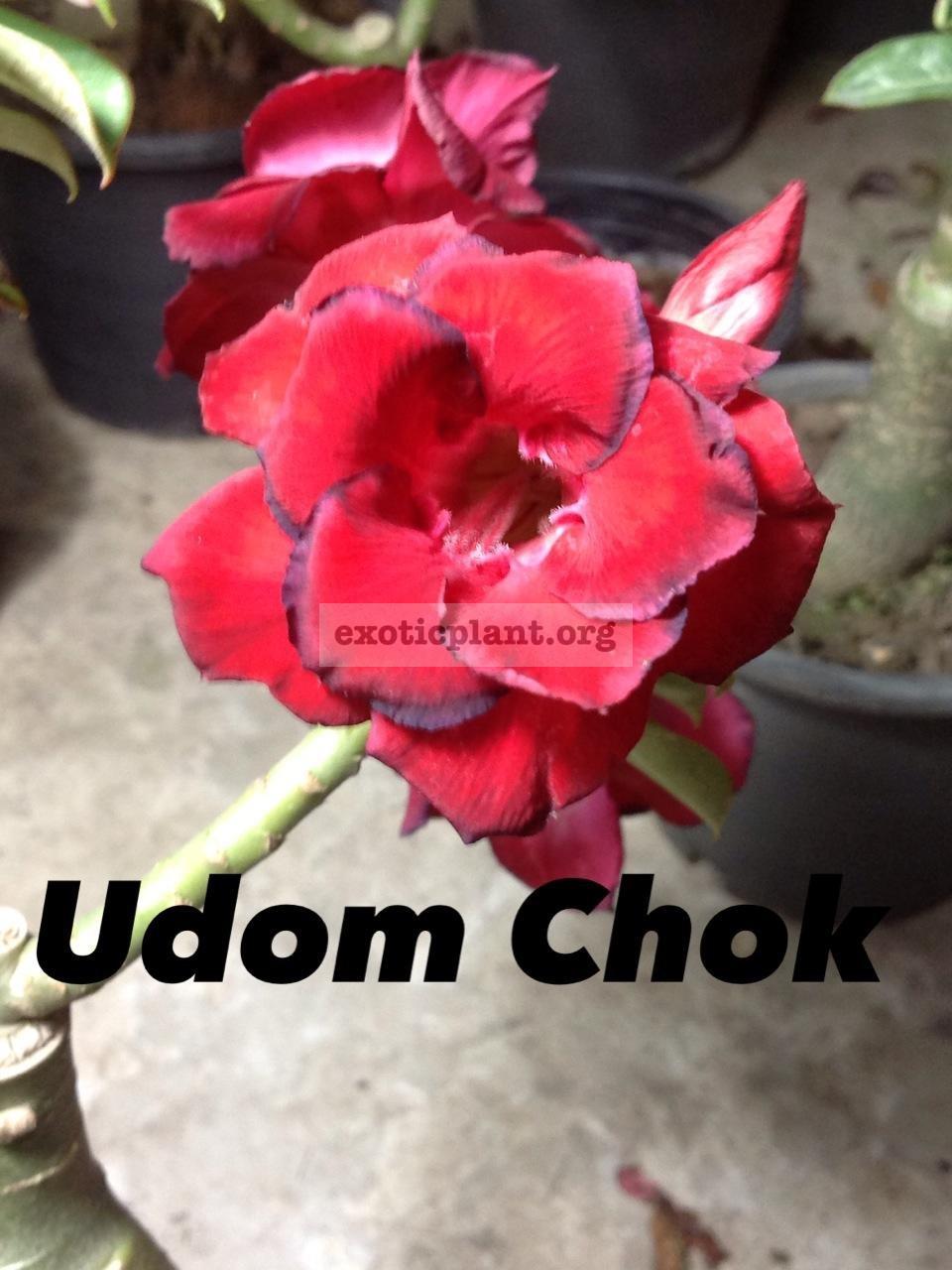 adenium Udom Chok 20