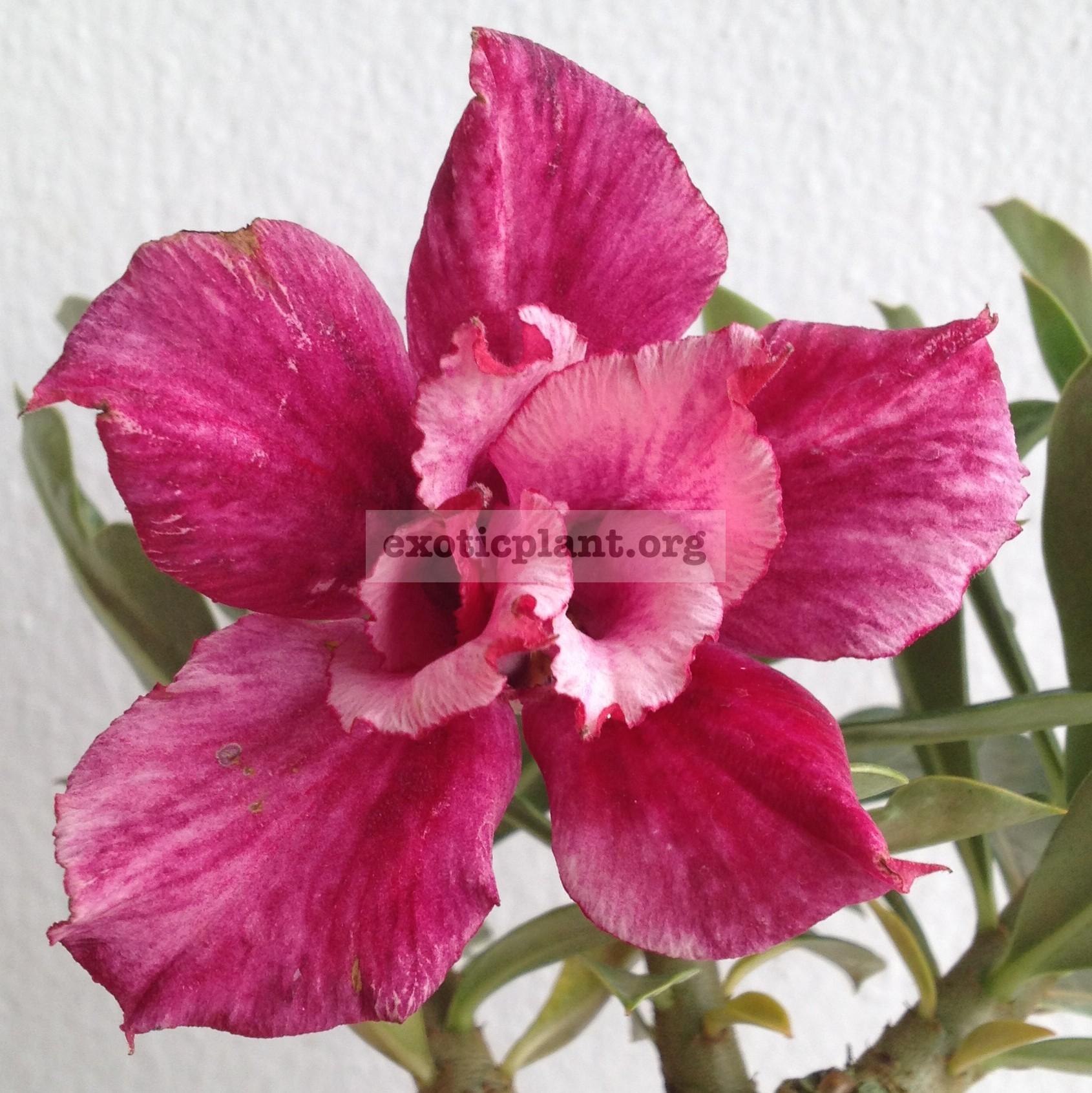 adenium Valentine Purple 22