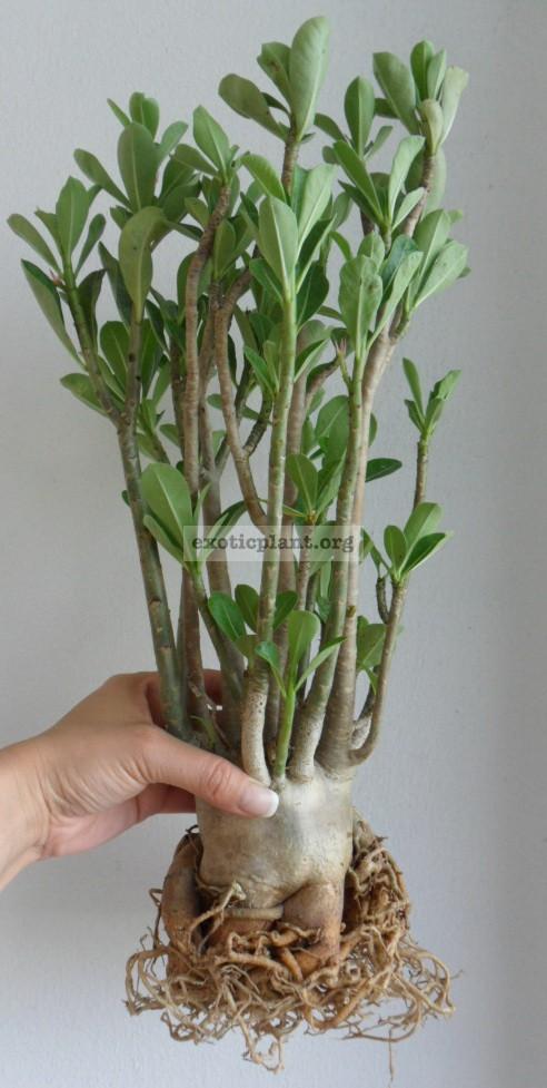 adenium arabicum Big Size 50