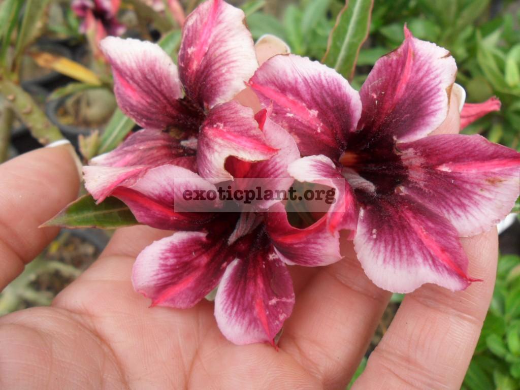 adenium crispum hybrid purple violet 22 = adenium crispum muang mongkon 22