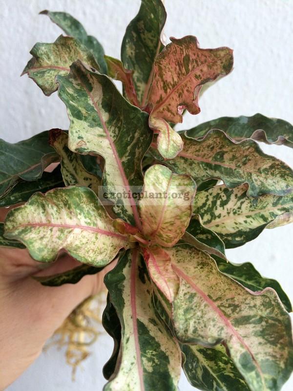 adenium crispum pink variegated 25