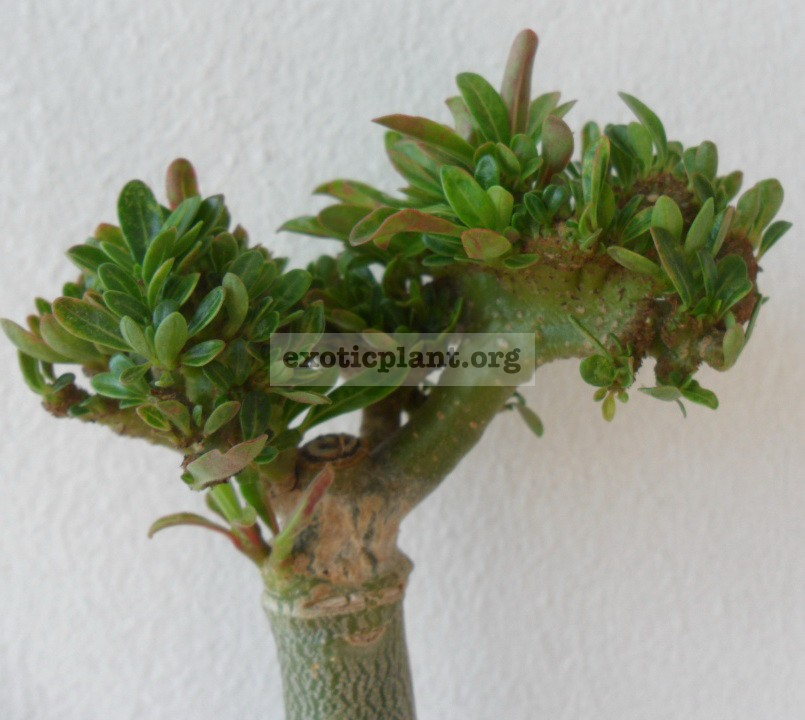 adenium cristata mini leave 28