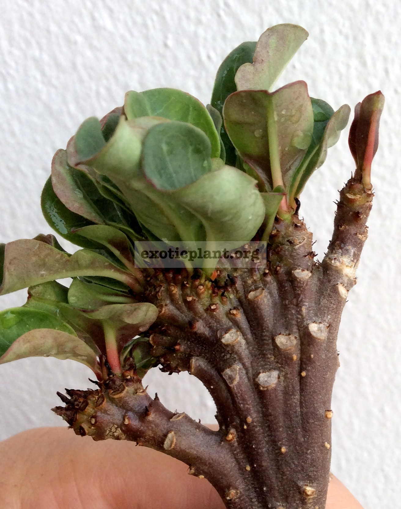adenium cristated Black mini leaves 30