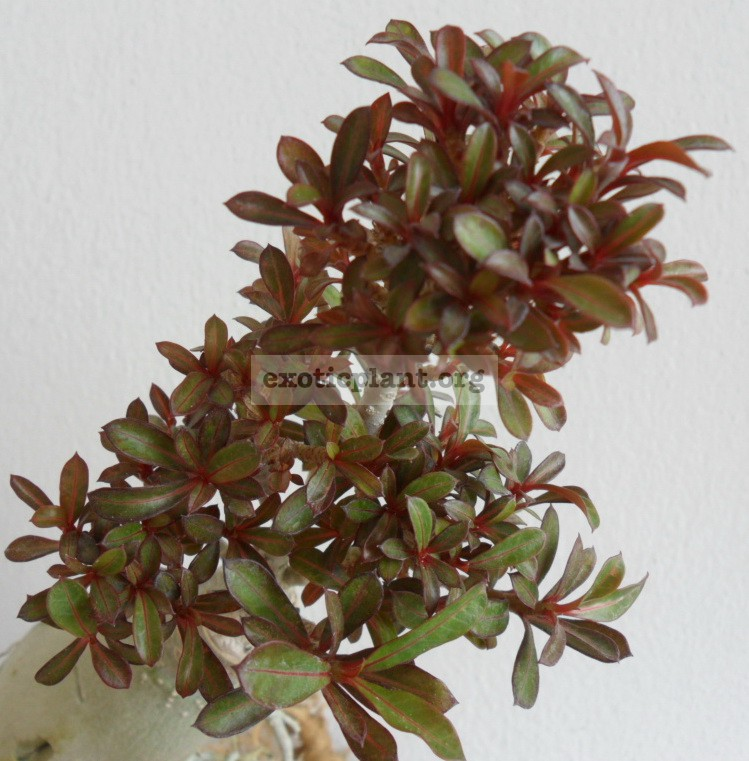 adenium dwarf purple mini leaves 40