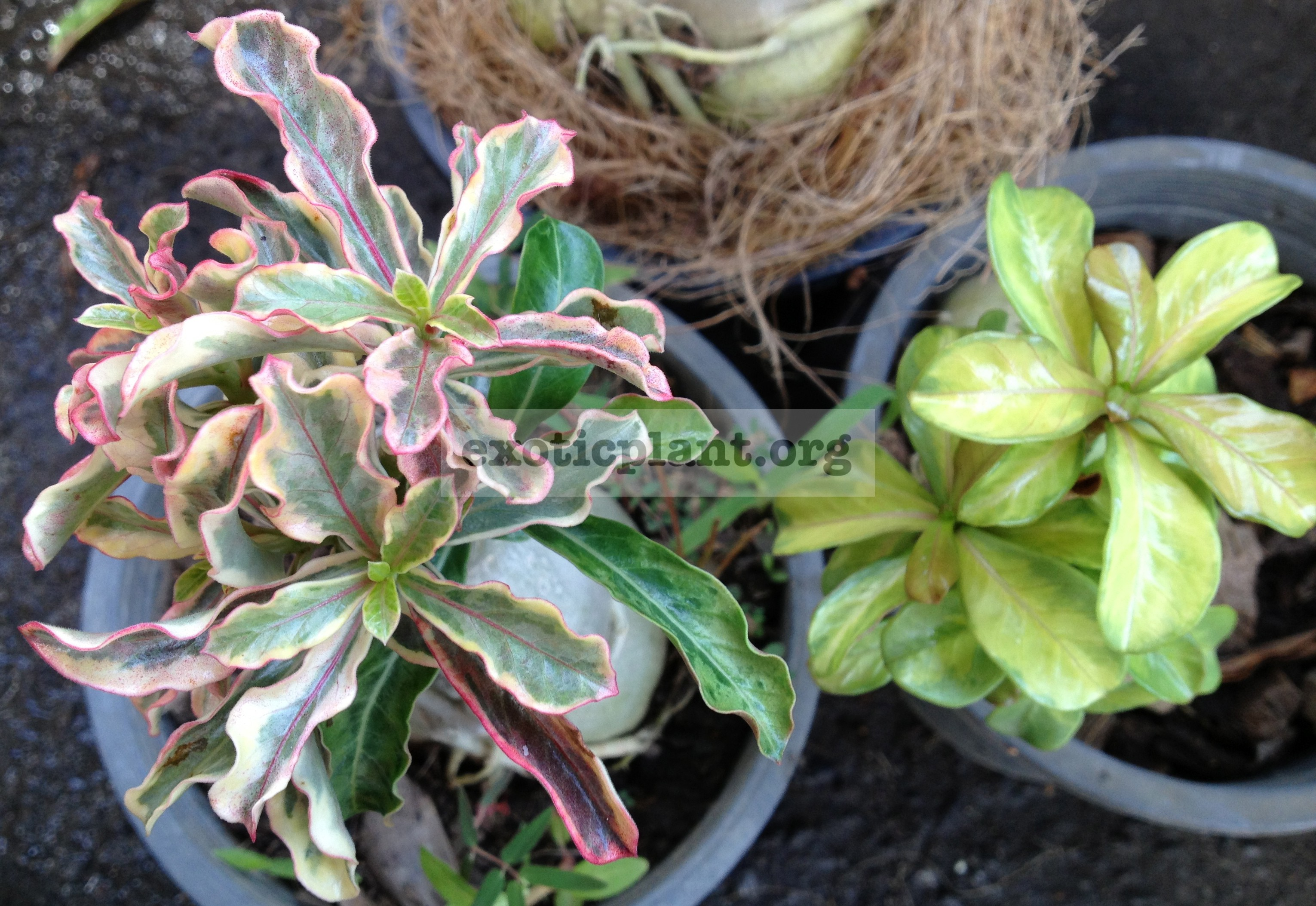 adenium dwarf wave tricolor mini leaves and plastic gold variegated