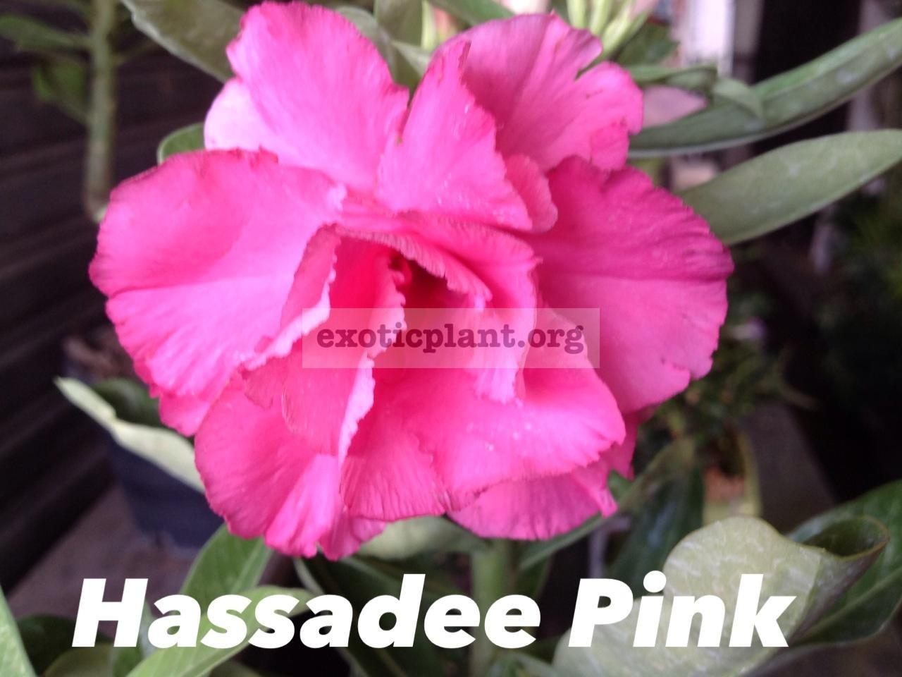 adenium hassadee pink 25