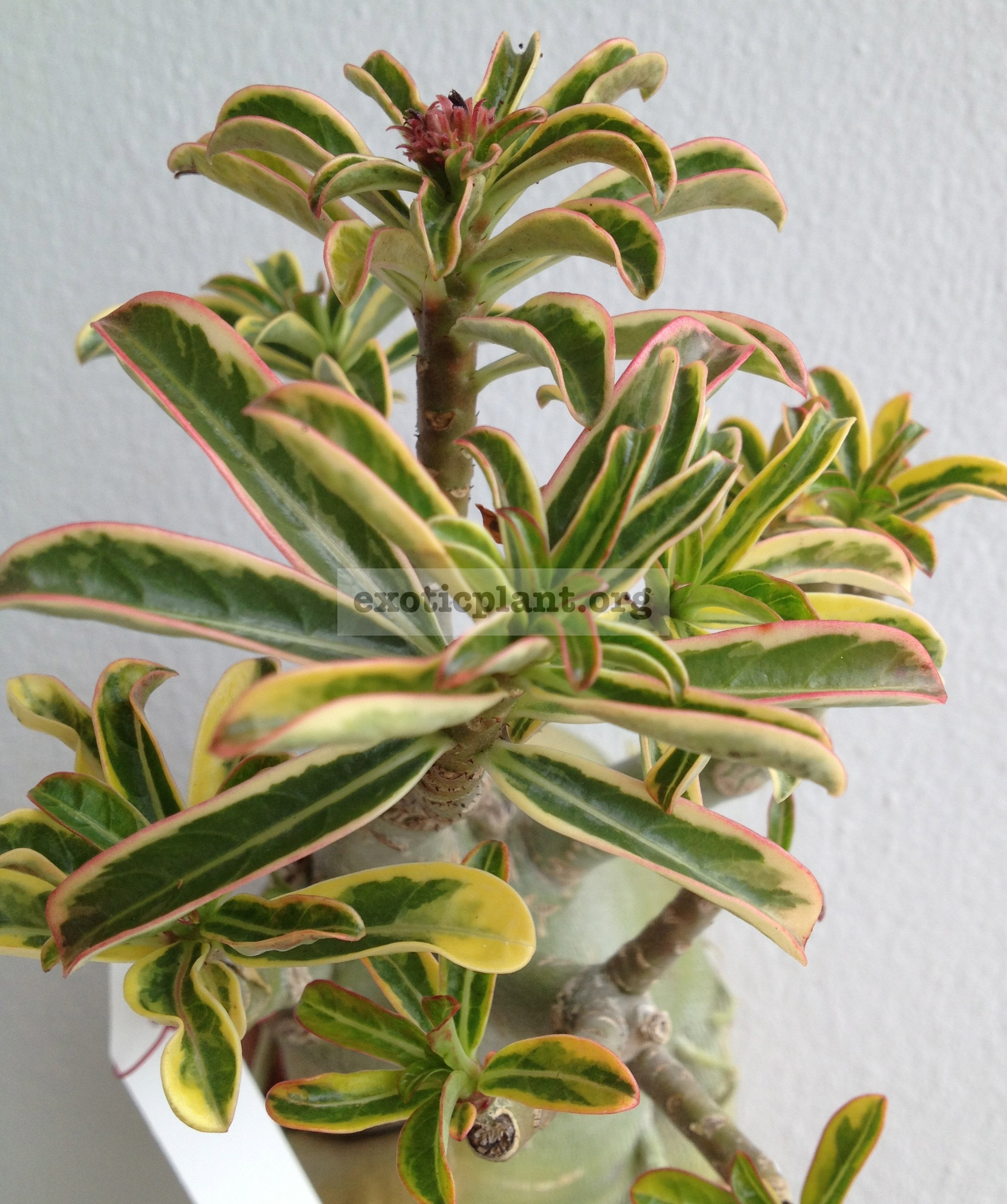 adenium narrow leave variegated nice big caudex 70