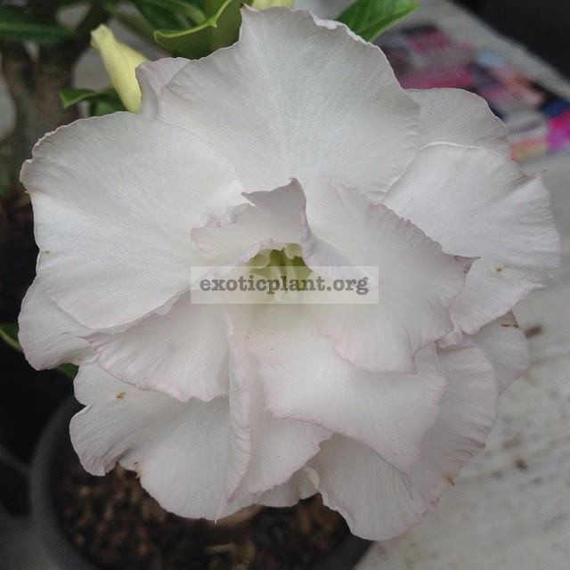 adenium new Angle White 23