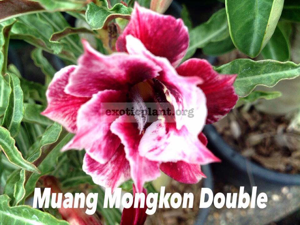 adenium somalense Muang Mongol double 26 = Sakda Double 26