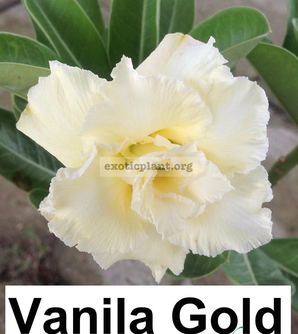 adenium vanilla gold 26