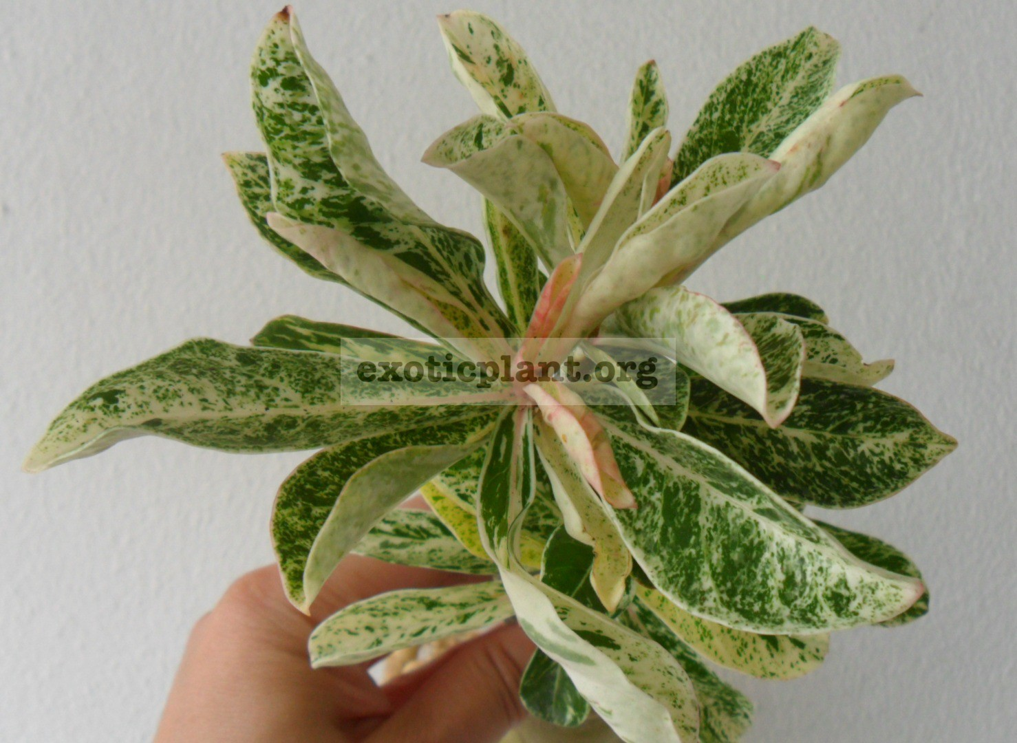 adenium variegated №1 — 20 pink flower