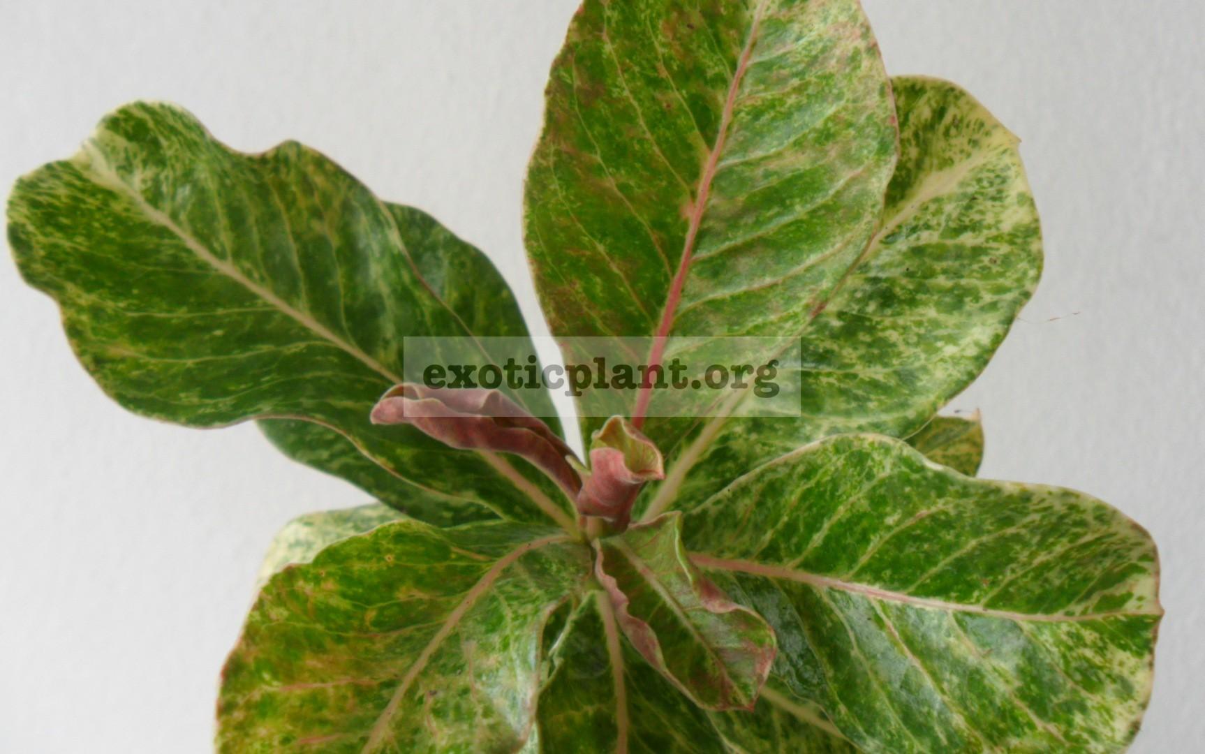 adenium variegated №2 — 17