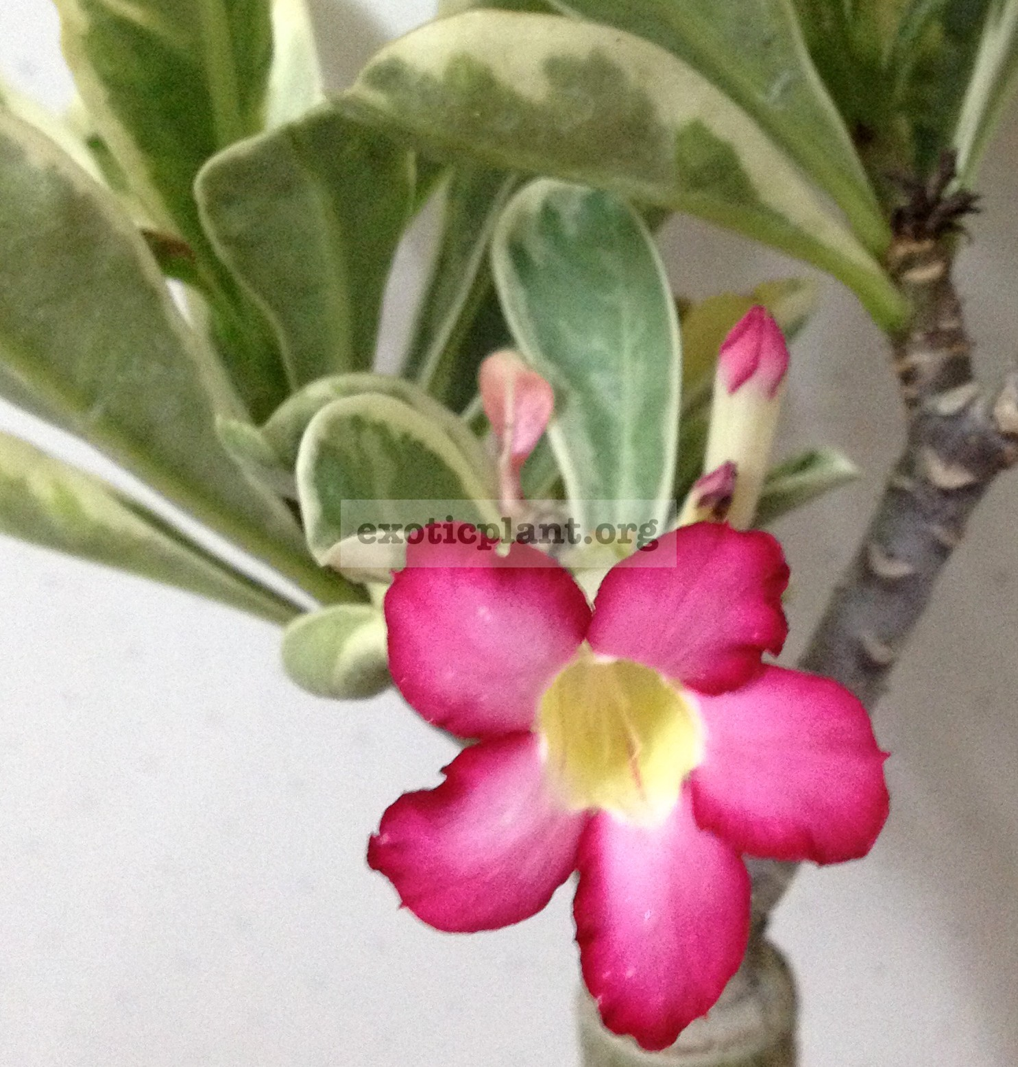 adenium yellow variegated pink flower 26