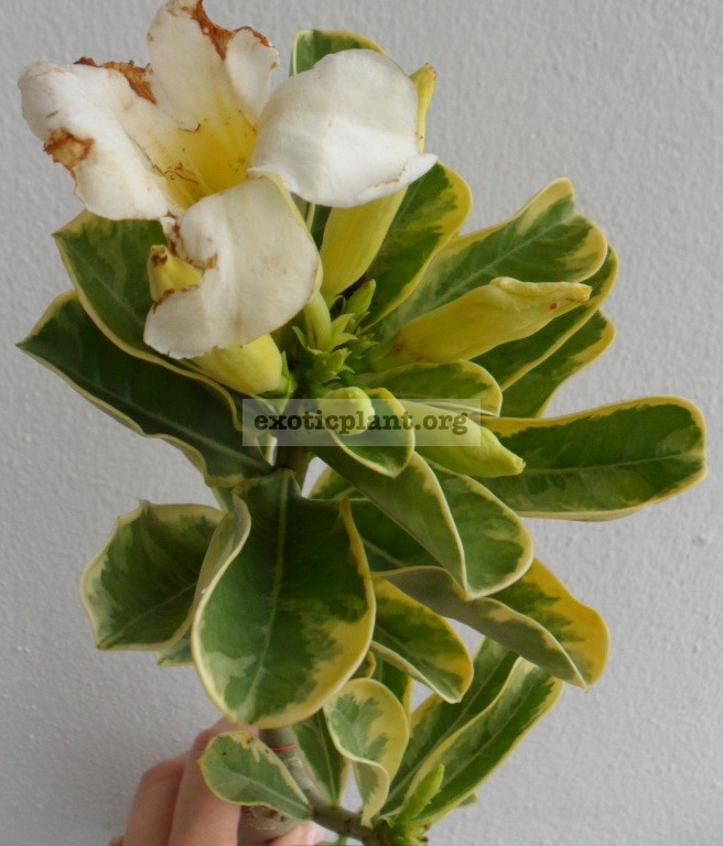 adenium yellow variegated white flower 26